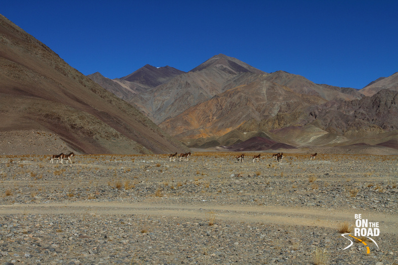 A Herd of Kiangs (Ladakhi Wild Ass) at Changthang Cold Desert