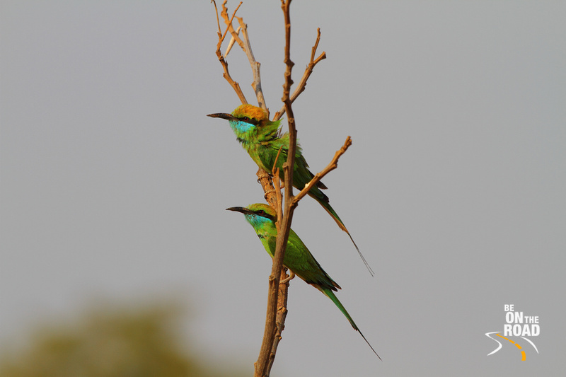Little Green Bee Eaters