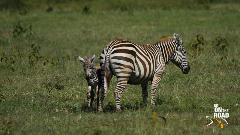 Common Zebra and its foal