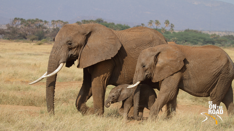 A Baby Elephant protected by the larger ones