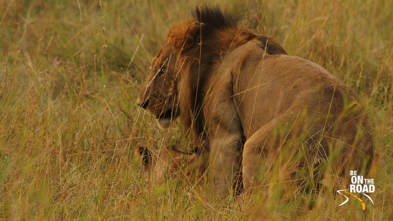The Lion looks up during the mating session