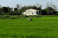 Working in the paddy fields of My Son, Vietnam