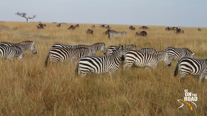 Zebras and Wildebeest graze together at the Maasai Mara
