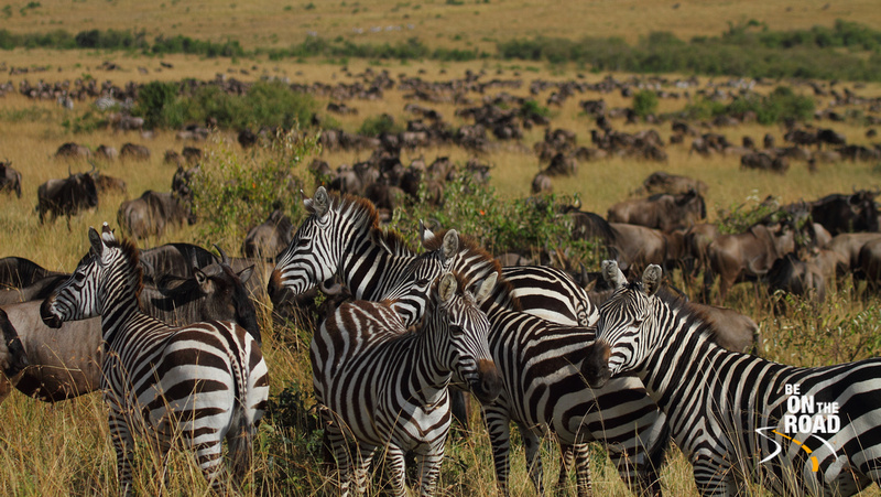 Do you see the black dots in the background? They are all Wildebeest. The ones in the foreground are the Common Zebra