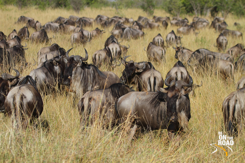 Large herd of wildebeest occupy the grasslands of Maasai Mara