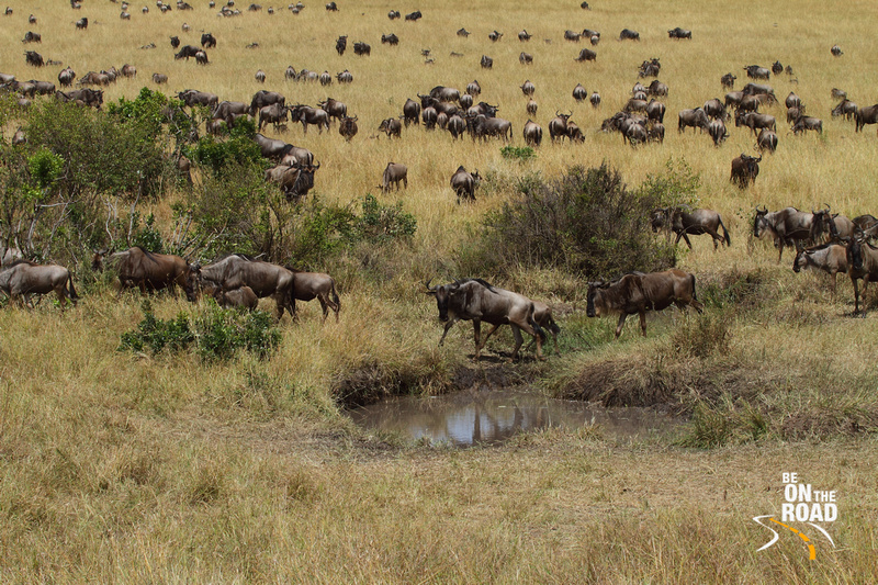 Wildebeests drop by for a drink