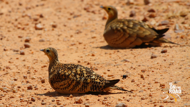 Chestnut bellied sandgrouse (female)