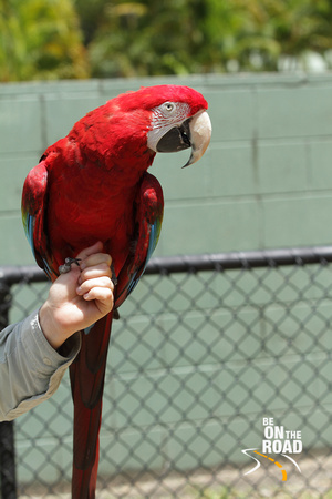 Scarlet Macaw at Australia Zoo, Sunshine Coast
