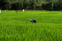 Vietnamese farmer working on his paddy field at My Son