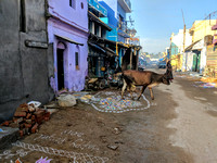 Cows are invited into homes at Kallidaikurichi during Pongal