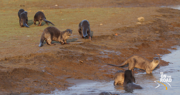 Beautiful otters come out to play at Kabini Tiger Reserve, Karnataka, India