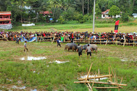 Bull fight at a Tana Toraja funeral ceremony