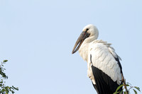 Asian Spoonbill at Ranganathitu Bird Sanctuary